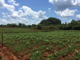 Tobacco fields.